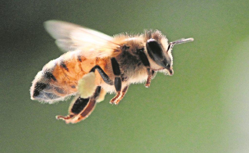 Una aplicación busca preservar las abejas meliponas en Yucatán