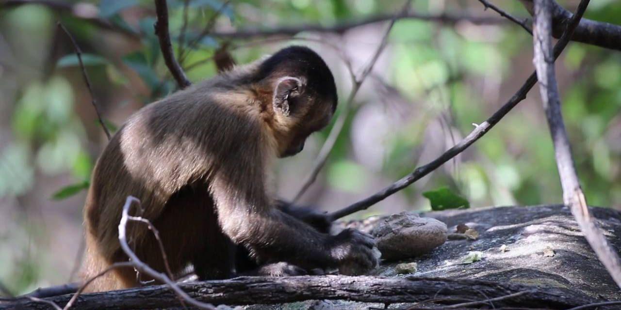 Monos capuchinos en la isla Jicarón atraviesan por la edad de piedra