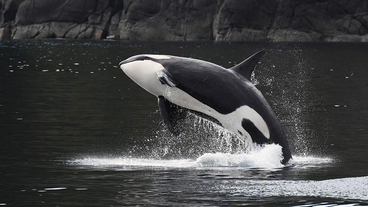 La población de orcas disminuye en Estados Unidos